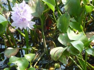 Jacynthes d'eau, Kumarakom