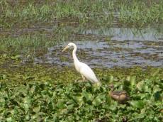Aigrette avec ses petits à Kumarakom