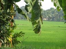 Aperçu d'une rizière à Kumarakom
