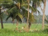 Rizière à Kumarakom