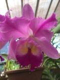 Dans la maison des orchidées Peradenyia