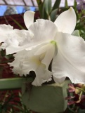 Orchidée blanche Peradenyia