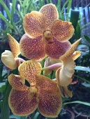 Orchidée mouchetée Peradenyia