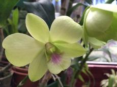 Orchidėe de Peradenyia