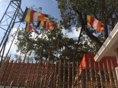 Branche du Boghi Tree vieux de plus de 2000 ans