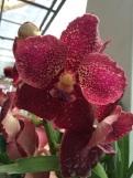 Orchidée à Peradenyia