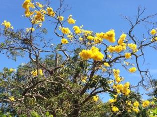 Arbre en fleur Peradenyia