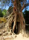 Entrée de Ta Som entourée par un énorme banian, Angkor, Cambodge