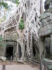 Ta Phrom ayant longtemps laissée à elle-même, les fromagers ont pris leur aise, Angkor, Cambodge