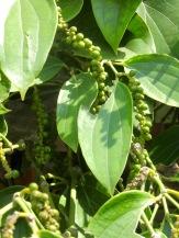 Poivre encore vert dans une plantation, Starling Farm, Kampot, Cambodge