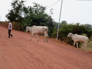 Un fermier amène ses vaches au lac secret pour les faire boire, près de Kampot , Cambodge
