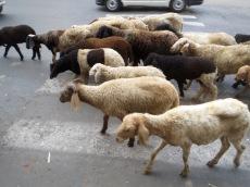 Photo de Robert: des moutons dans les rues de Kolkata, Inde