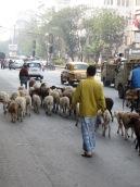 Photo de Robert: un homme conduit ses moutons dans les rues de Kolkata, Inde