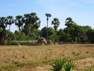 Une rizière au repos après la récolte, dans les environs de Kompong Thom, Cambodge