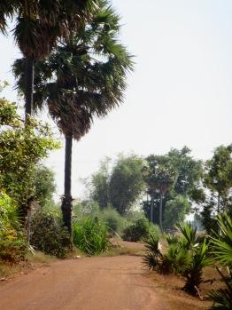 Ces grands palmiers sont caractéristiques du Cambodge et peuvent être vus de loin, campagne de Kampong Thom, Cambodge