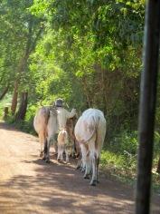 Un fermier sur le bord de la route avec ses vaches, campagne de Kompong Thom, Cambodge