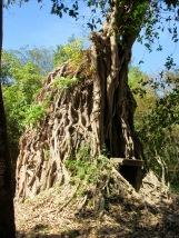 Temple datant du 7e siècle complètement entouré des racines d'un arbre, Sambor Pre Kuk, Cambodge