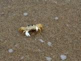 La longue plage de Hopkins invite à la marche. Lors de notre passage, elle était peu fréquentée. Un jour, un petit crabe s'est arrêté devant nous et nous a longuement observés. Hopkins, Stann Creek District, Belize.