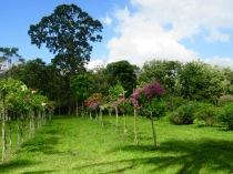 Un grand mahogani semble protéger le Spice Garden, Toledo District, Belize.