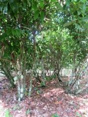 Des cacaotiers et leurs fruits. Un long processus les attend avant de devenir le produit que nous connaissons. Spice Garden, Toledo District, Belize.