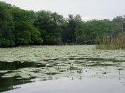 Les fleurs de lotus et les rives du Rio Dulce cachent un écosystème riche et varié. Guatemala.