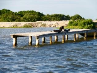 Des oiseaux se prélassent sur un quai de bois près de la saline, Rio Lagartos, Yucatán, Mexique.