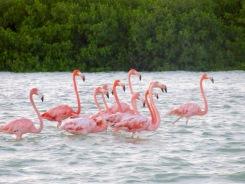 Les flamants roses sont non seulement au rendez-vous, mais ils se laissent volontiers observer. Rio Lagartos, Yucatán, Mexique.