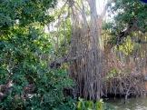 La réserve de Rio Lagartos recèle 10 types de végétation, dont la mangrove. Yucatán, Mexique.