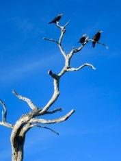 Ces oiseaux rapaces profitent du soleil d'après-midi. Notre passage ne les perturbe pas, ils ont d'autres proies en vue. Rio Lagartos, Yucatán, Mexique.