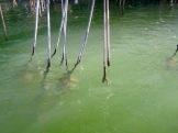 Les racines des certains arbres de la mangrove sont à peine perceptibles sous l'eau. Rio Lagartos, Yucatán, Mexique.