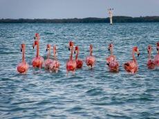 Curieusement, les flamants roses se dirigent presque tous en même temps, dans la même direction, Rio Lagartos, Yucatán, Mexique.