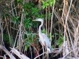 La réserve de Rio Lagartos abrite plus de 395 espèces d'oiseaux, Yucatán, Mexique.