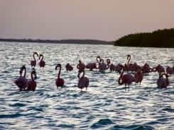 Les oiseaux ne semblent pas perturbés par notre présence alors que leur gracieuse silhouette de détache sur les flots éclairés par lles reflets du soleil couchant. Rio Lagartos, Yucatán, Mexique.