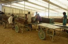 Les briques de glaise fraîchement fabriquées puis coupées, sont transportées à l'extérieur pour sécher au soleil. Kratie, Cambodge.
