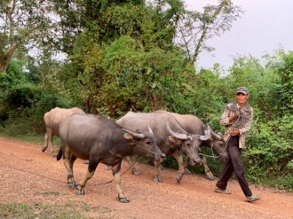 En revenant de Chhlong nous rencontrons un fermier qui déplace ses buffles, nous leur laissons la place. Cambodge.