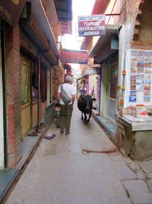Une rencontre très habituelle dans les ruelles de Chowk, mieux vaut se ranger...ces bêtes ont des cornes, Varanasi, Inde.