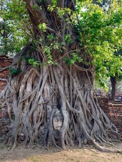 Une tête de Bouddha prise dans les racines, Wat Maha That, Ayutthaya, Thaïlande.