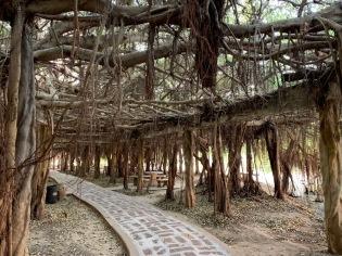 Cet espace aménagé sous un seul et immense banian attire beaucoup de visiteurs. C'est un des attraits touristiques de la région. Phimai, Isan, Thaïlande.