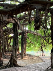 Cet espace ombragé serait formé d'un seul banian âgé de 350 ans. Des structures de ciment soutiennent cet arbre immense. Phimai, Isan, Thaïlande.