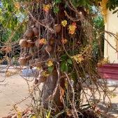 Je ne connais pas le nom de cet arbre, mais je suis toujours émerveillée de voir ses fleurs. Ubon Ratchathani, Isan, Thaïlande.